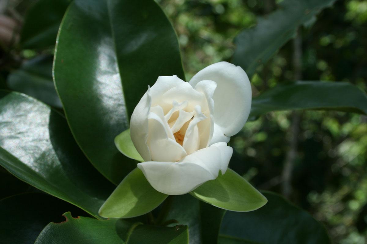 Magnolia_cubensis_acunae